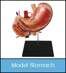 Model stomach, assembled