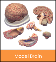 Brain model in pieces image with orange frame that links to catalog record