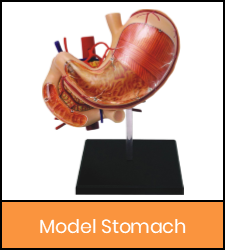 Stomach model image with orange frame that links to catalog record