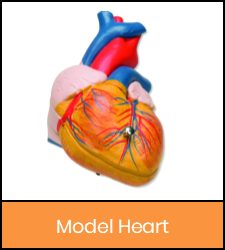 Heart model image with orange frame that links to catalog record