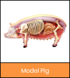 Pig model image with orange frame that links to catalog record